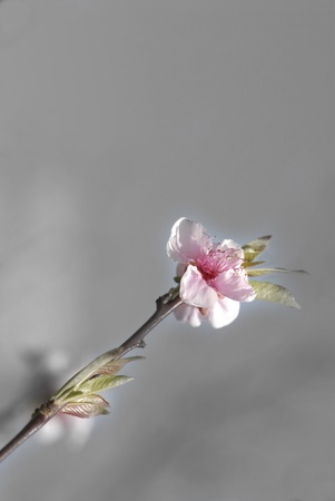 flowering cherry blossom background and empty space Stock Photo - 9091452