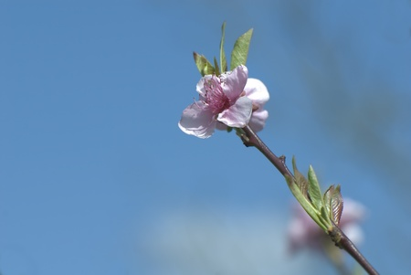 cherry blossom branch and the sky background  Stock Photo - 9131282