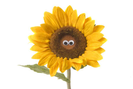 funny eye sunflower isolated on white background Stock Photo - 9131293