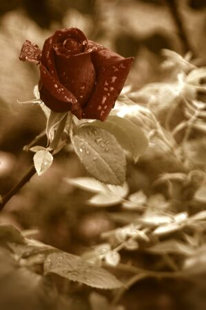 red rose bud with water drops of rain in sepia tone  photo
