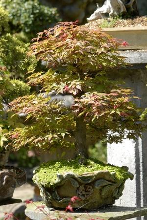 bonsai maple outside  photo