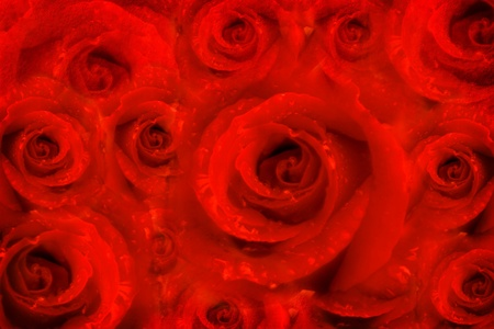 card rose flowers in a red passion background Stock Photo