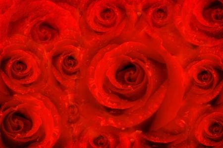 red roses: tarjeta de flores color de rosa en un fondo rojo pasión