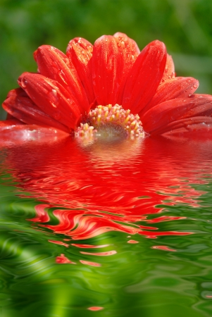 fresh red daisy reflected in water photo