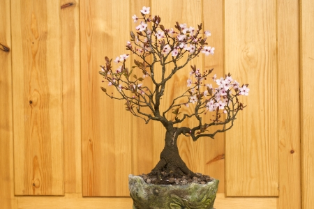 prunus cerasifera: plum (Prunus cerasifera) blossom bonsai potted handmade Stock Photo