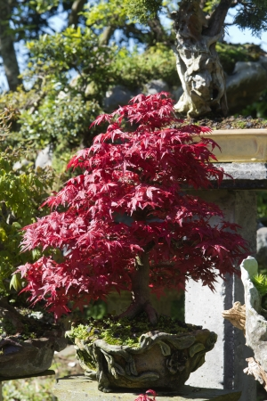 Bonsai Acer Palmatum, arce rojo photo