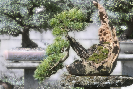 abeto �rbol bonsai en maceta artesanal en el jard�n photo