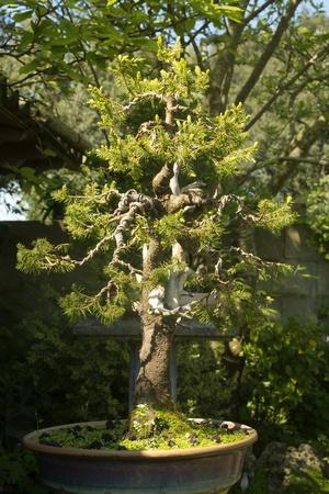 conifer bonsai tree with branches wiring process in the garden stock rh 123rf com Bonsai Styles Bonsai Silhouette
