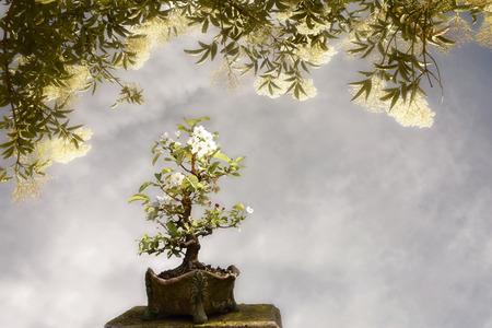 big tree: Blossoming apple tree bonsai under a big tree