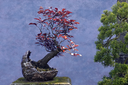 prunus cerasifera: Bonsai tree red Plum (Prunus cerasifera var. pissardii)