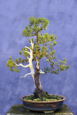 picea: Bonsai tree European spruce (Picea abies) wire branches