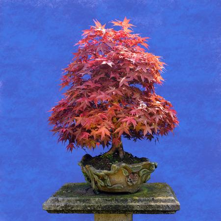 Bonsai-Baum des japanischen Ahornschwimmhäute (Acer palmatum) Standard-Bild