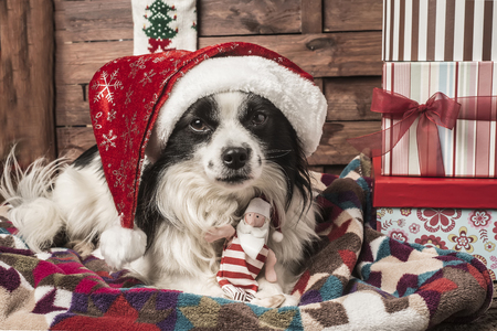 pet  animal: Christmas postalcards, dog with hat and santa claus doll lying on a blanket with gift boxes
