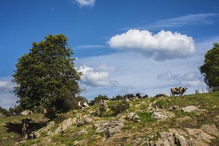 vacas lecheras: vacas de leche de granja rumiantes en el campo