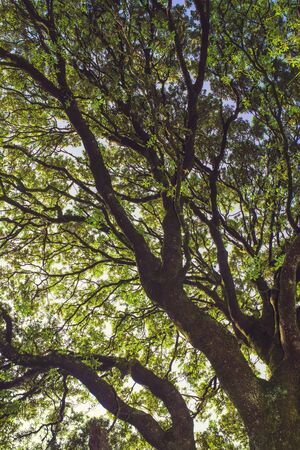 Upward perspective view of tall old Holm oak tree. Nature green wood forest, canopy of green trees background. Stock Photo