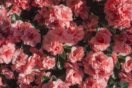 Azalea japonica flowers ( Rhododendron ) Pink flowers background