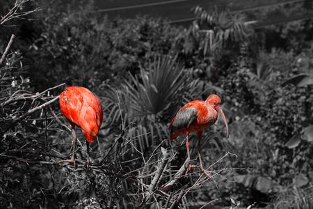 scarlet: Two scarlet ibis BW