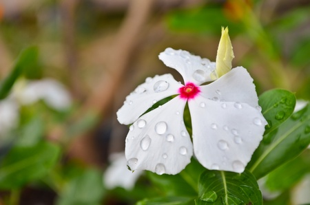 drizzle: white flower with water droplets Stock Photo