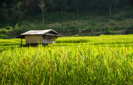 a wooden hut in the green rice field Stock Photo