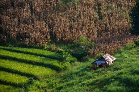 plentifully: dried corn field and green rice field