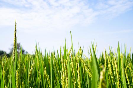 青い空と緑の稲 写真素材