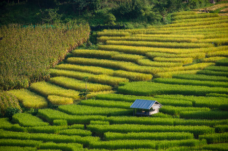 there are corn, golden rice field and green rice field in the same scene