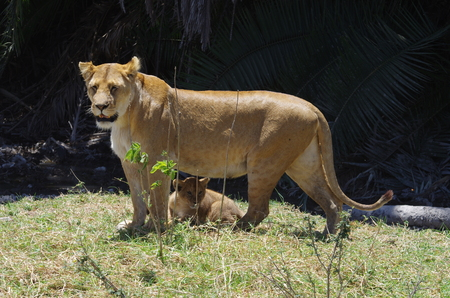 A lion and her baby That legacy lies entre les de son mother