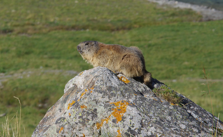 A groundhog on a rock in the mountains