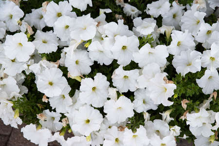 Many white Petunia flowers in a garden