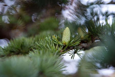 Close-up of a green pine cone on a fir branch Фото со стока