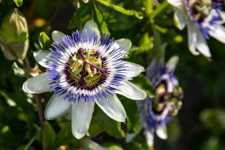 Close-up of a passion flower Фото со стока