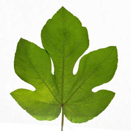 Close-up of a fig leaf