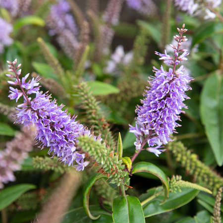 Close-up of purple veronica flowers in a garden