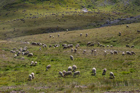 A flock of sheep in a mountain meadow in the Alps in France Фото со стока