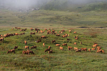 Herd of cows in a mountain meadow in the Alps in France