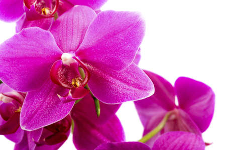 pink orchid flower  photo