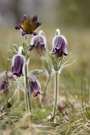 anemone flower: Black Pulsatilla - spring flower Stock Photo