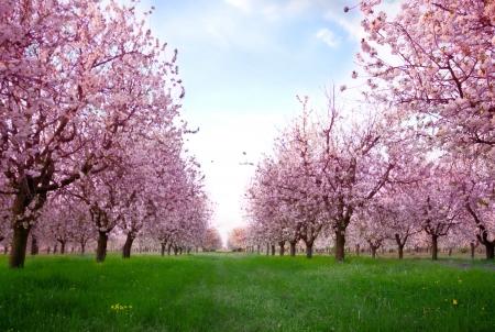 sakura flowers: Cherry blossoms (sakura)