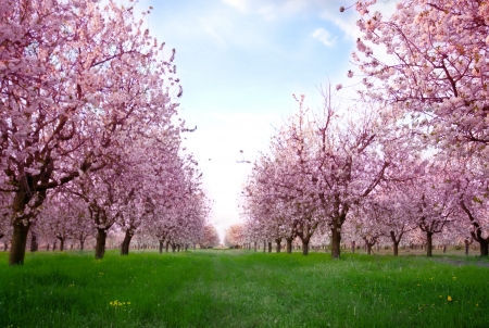blossoming: Cherry blossoms (sakura)