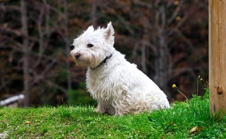 West highland white terrier photo