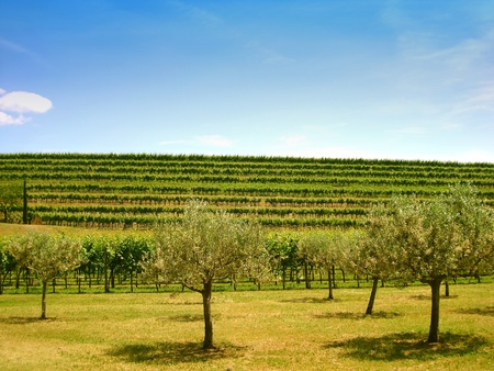 Olive trees with hilly background of vineyard under summer sky with a small white cloud photo