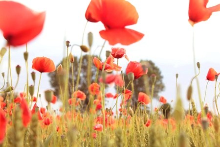 overexposed: red poppies on white sky with soft light overexposed