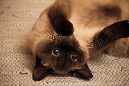 cloesup: sweet and cute ragdoll belly up cloesup Stock Photo