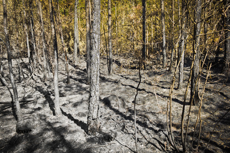 the hearth of a forest after a fire in julian alps photo