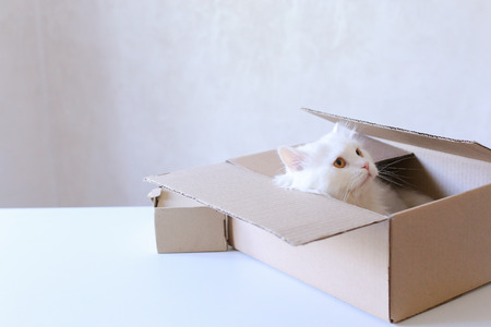 Cute White Cat Sitting in Box, Cat Sniffs Box and Looking to Left. Parcel With Cat Lying on White Sofa. White Cat Sits in Cardboard Box and Cat Falls to Box and Looking to Left and Sniffing Box. White Long-Haired Cat With Brown Eyes and Expressive Muzzle