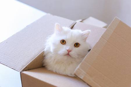 downsize: Cute White Cat Sitting in Box, Cat Sniffs Box and Looking to Left. Parcel With Cat Lying on White Sofa. White Cat Sits in Cardboard Box and Cat Falls to Box and Looking to Left and Sniffing Box. White Long-Haired Cat With Brown Eyes and Expressive Muzzle