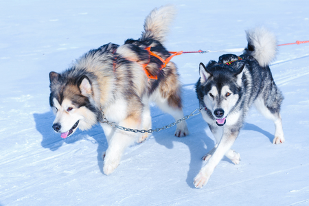 Two dogs are playing outside in winter white snow. Concept of happiness, Dogs in harness.