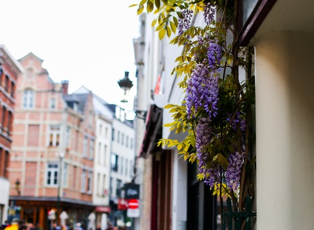 Focus on nice wisteria on Belgian building, Belgium. Concept of european archtecture and flowers, spring season.