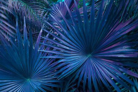 close up blue Tropical big palm leaves in exotic country Thailand Landscape Holiday . concept of foreign background, summer plants or nature and travel