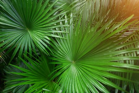 close up green Tropical big palm leaves with sunlight in exotic country Thailand Landscape Holiday . concept of foreign background, summer plants or nature and travel